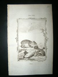 Buffon: 1785 Paca, Antique Print